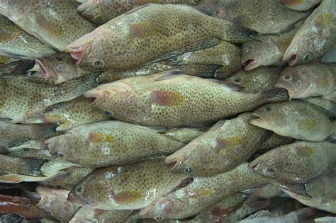 grouper fish wholesale seafood sustainable