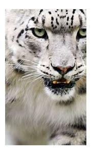 Download Wallpaper 1920x1080 snow leopard, color, eyes ...