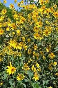 Topinambur Knollen Kaufen : pflanze topinambur helianthus tuberosus spicegarden ~ Watch28wear.com Haus und Dekorationen
