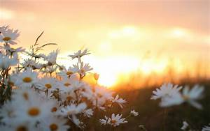 Download White Flowers Field Sunrise Wallpaper for desktop ...