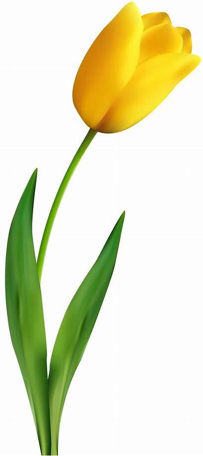 Tulip Yellow Clip Transparent Tulips Flower Clipart