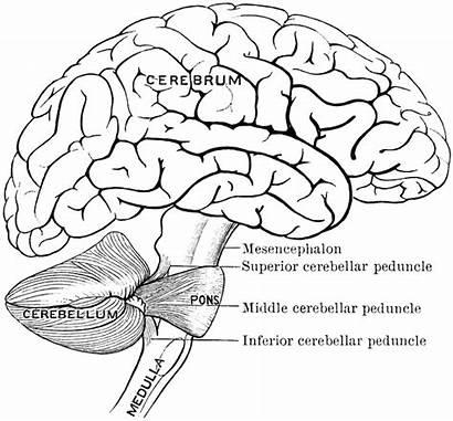 Brain Clipart Connection Etc Medium Parts