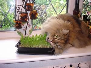 Herbe à Chat : l herbe chat vari t s et effets sur le comportement ~ Melissatoandfro.com Idées de Décoration