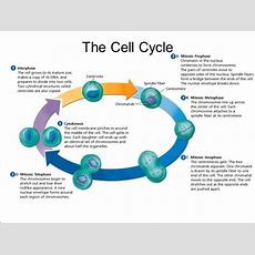 Cell Cycle Analysis Market  Global Industry Insights, Size, Share, Trends, Outlook Analysis