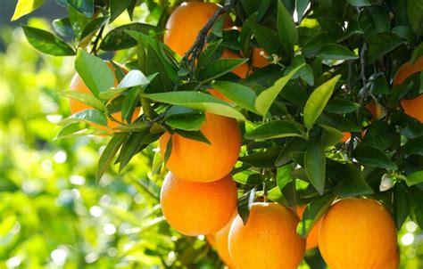 1080p Orange Fruit Wallpaper Hd by Wallpaper Nature Tree Oranges Fruit Nature Wood