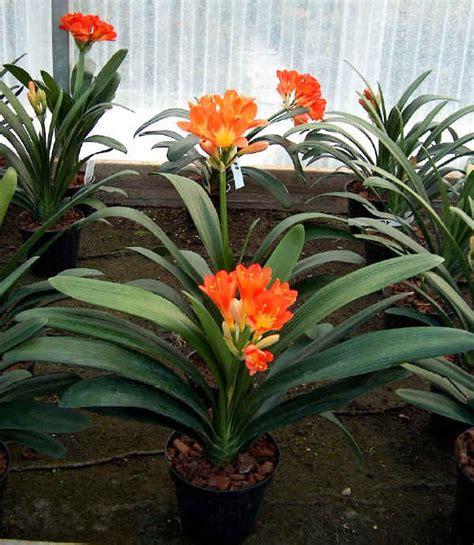 pianta fiori arancioni la clivia e i suoi fiori arancioni inaspettati