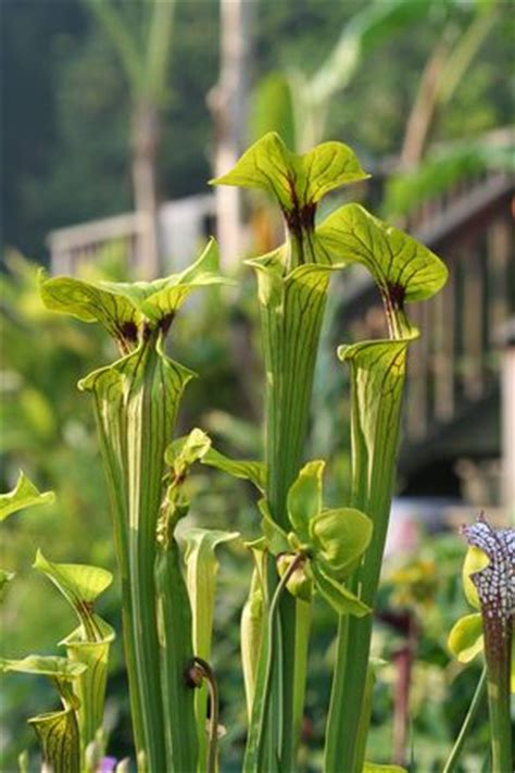Aquascapes Unlimited by Sarracenia Flava Yellow Pitcher From Aquascapes Unlimited
