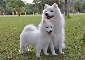 Nombres En Japonais : conoce la raza de perro spitz japon s te sorprender wakyma ~ Medecine-chirurgie-esthetiques.com Avis de Voitures