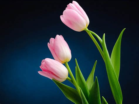 Tulip Image Desktop by Pink Tulip Flower Pictures 2013 Wallpapers