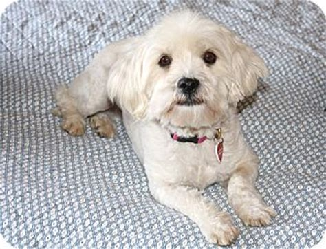 Lhasa Apso Mix Shedding I Do Not Shed Adopted Los Angeles Ca Lhasa Apso Poodle Miniature Mix