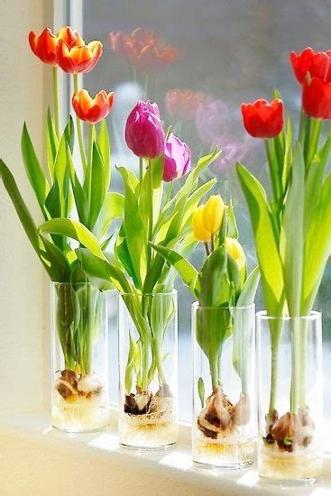 beautiful how to grow tulips and tulip on