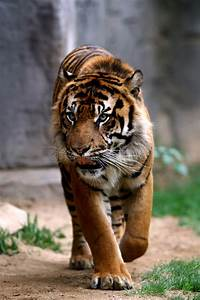 Prowling Tiger Stock Photo  Image Of Tiger  Sharp