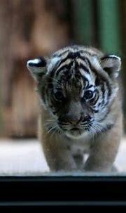 Prague zoo celebrate health of rare Malayan tiger cubs ...