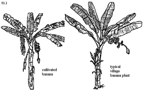 banana tree diagram wiring diagram