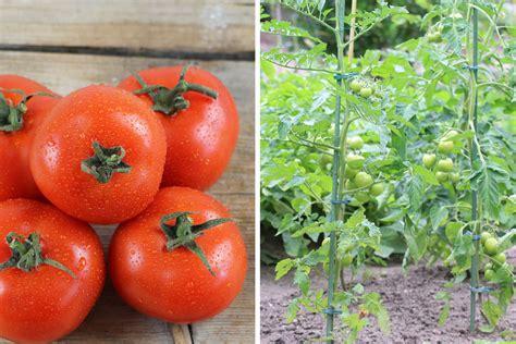 tomaten saeen wann ist der ideale zeitpunkt tomatende
