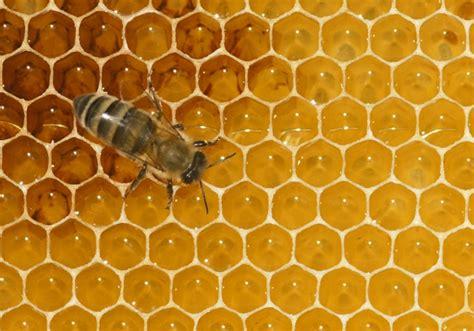 honigbiene fotode bildansicht