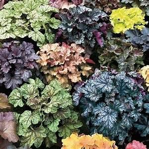 des heucheres vivaces des plantes balcon colorees With beautiful quelles plantes pour jardin zen 8 quelles plantes pour un balcon fleuri