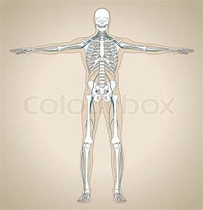 The Human  Male  Nervous System With Skeleton And