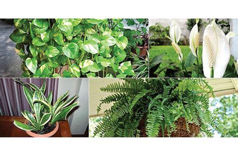 tanaman hias penghisap racun medanbisnisdailycom