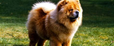 paintings for home chow chow information characteristics traits facts