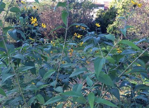 Kleine Sonnenblumen Pflanzen Und Ernten