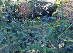 Pflanzen Die Schnell Hoch Wachsen : topinambur kleine sonnenblumen pflanzen und ernten ~ Michelbontemps.com Haus und Dekorationen