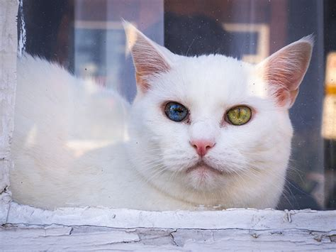 cat eyes cats heterochromia universe different colors whole inside colored hiding these credits hawco ed panda source
