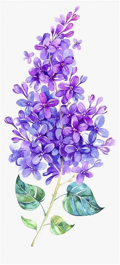 Watercolor Lavender Lilac Clipart Flower Transparent Pngitem