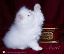 Kitten White Persian Cat for Sale