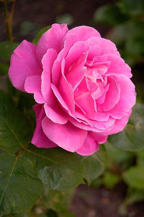 rose pink  color pink roses