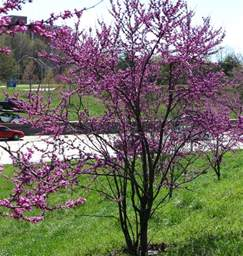 Small Flowering Trees Landscaping