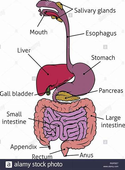 System Darm Tract Digestive Human Gastrointestinal Magen