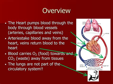 The Circulatory System Ppt Video Online Download