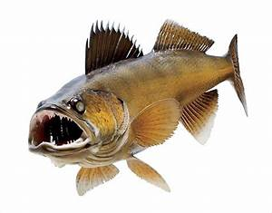 walleye clipart