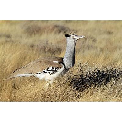 Kori Bustard – Bird & Wildlife Photography by Richard and