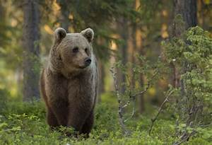 Photographing The Brown Bear In Finland