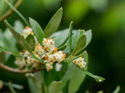 olivenbaum in der wohnung überwintern kann ein olivenbaum in der wohnung gedeihe