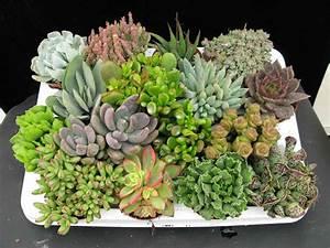 Plantas Suculentas Flores e Folhagens