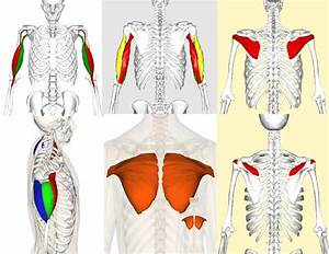 Muscle Origin And Insertion For Biceps Brachii  Triceps