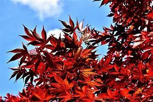 Roter Japanischer Ahorn : ein ort f r ruhe und entspannung der japanische garten baumschule buten in geeste ~ Frokenaadalensverden.com Haus und Dekorationen