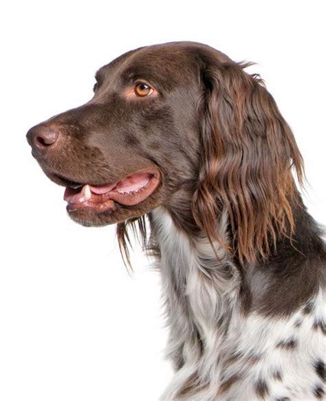 small munsterlander dog breed information noahs dogs