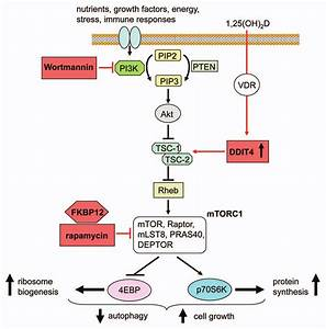 Vitamin D And The Inhibition Of Mtor Signaling  Schematic