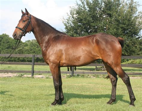 warmblood american horse mare breed warmbloods running stallions information horsebreedspictures