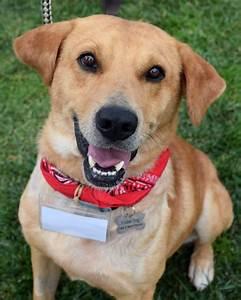 cyrus adopted labrador retriever golden retriever mixed dog for adoption