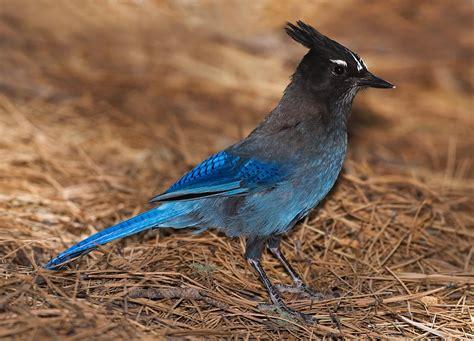 steller s jay audubon field guide