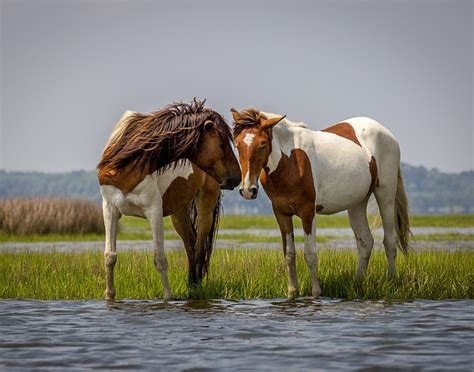 horses wild assateague island chesapeake bay america north places md ponies wildlife national paints ocean state beach run 5x7 park