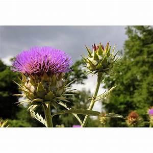 Plante Detoxifiante : l 39 artichaut plante drainante et d toxifiante ~ Melissatoandfro.com Idées de Décoration