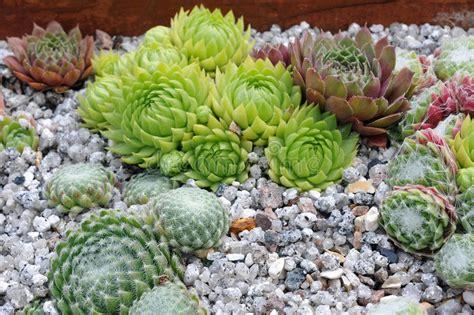 kaktus mit blüten kaktus garten stockfoto bild blumen kaktus eleganz 17299060