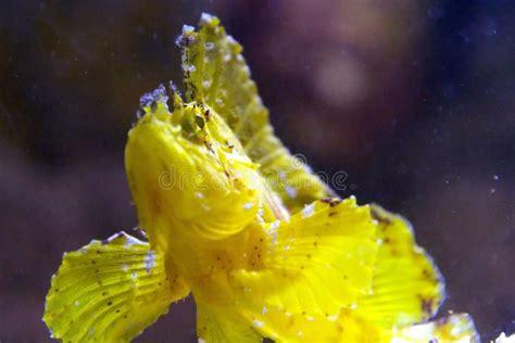 scorpion fish scorpionfish leaf lionfish andaman sea dangerous focus dinner
