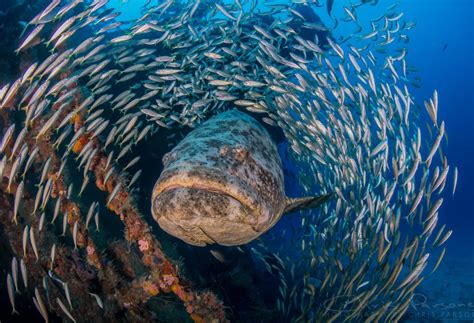 grouper goliath fish florida eye canon nauticam 15mm parsons chris vegan hugely misunderstood individuals meets than there these they near